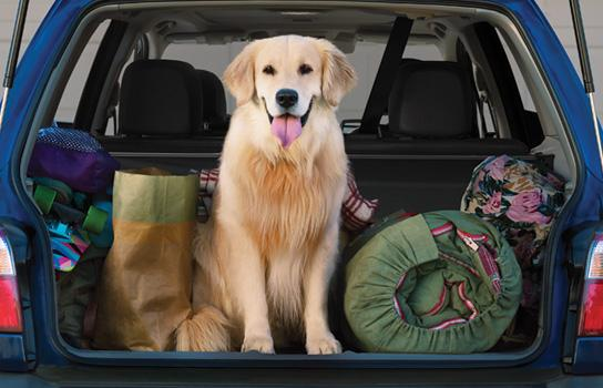 A golden retriever in the back of car along with camping supplies.