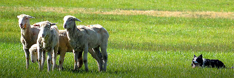Sheep Camp Stock Dog Trials