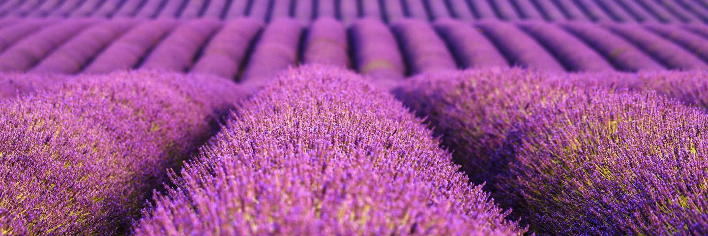 Colorado Lavender Festival