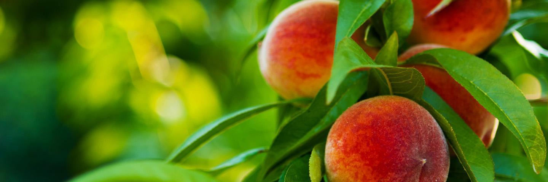 Fort Collins Peach Festival